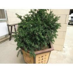 红豆杉盆景多少钱,宝鸡红豆杉盆景图片