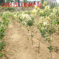 响水一号金银花-供应山东品种好的响水一号金银花苗