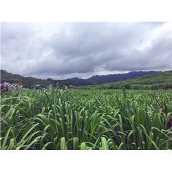 喂牛种哪种牧草好点-海南省优良巨菌草供应图片