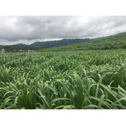 草籽多少錢一斤-綠洲一號牧草種苗哪里有賣圖片