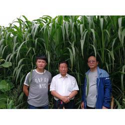 皇竹草好不好-儋州牧春菌草专业供应绿洲一号牧草种苗图片