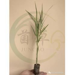 台湾绿洲一号扦插苗扦插苗-海南哪家绿洲一号牧草种苗供应商好图片