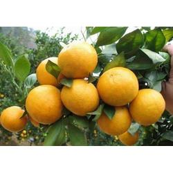 哪里有桂橙一號果苗賣的圖片