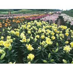 辽源白鲜皮籽哪家好-口碑好的观赏百合切花哪里有供应图片
