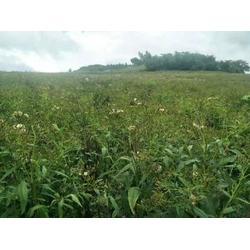 松原返魂草苗-哪里能买到划算的返魂草籽图片