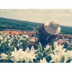 辽源白鲜皮籽厂家-白山口碑好的观赏百合切花供应商图片