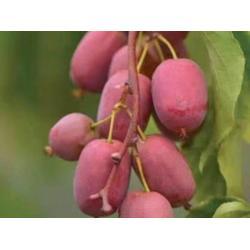 软枣猕猴桃种植找丹东韵都软枣园图片