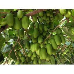 保定软枣猕猴桃-优良的软枣猕猴桃推荐图片
