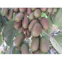 盘锦软枣猕猴桃-品种好的软枣猕猴桃推荐图片
