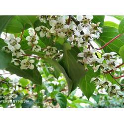 唐山软枣猕猴桃繁育基地-软枣猕猴桃繁育基地找丹东韵都软枣园图片