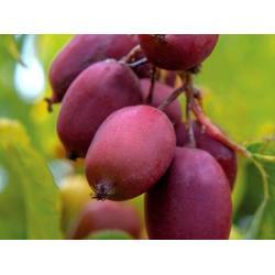 软枣猕猴桃种植基地-供应辽宁实惠的软枣猕猴桃种植图片