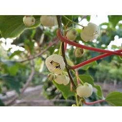 軟棗獼猴桃苗-哪里能買到實惠的軟棗獼猴桃圖片