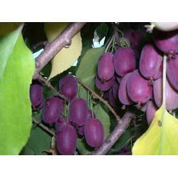 红色软枣猕猴桃-品种好的红色软枣猕猴桃苗推荐图片