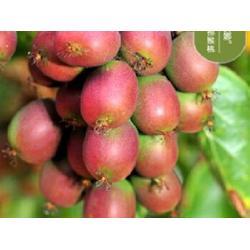 软枣猕猴桃种植基地-丹东软枣猕猴桃种植基地直销图片