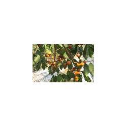 朝阳软枣苗-供应辽宁优良的软枣苗图片