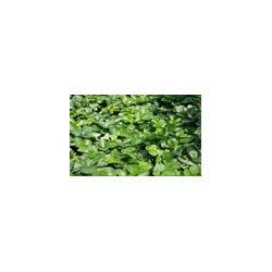 朝阳草莓籽-草莓苗-选东港圣德伯瑞农业技术开发图片