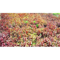 红景天-供应徐州有品质的红景天图片