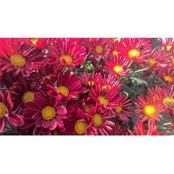 徐州商品菊厂家推荐-有保障的商品菊就在徐州红景天农业图片