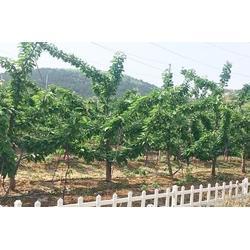 烟台福晨大樱桃苗种植基地-要买烟台大樱桃苗就到烟台富景农业图片