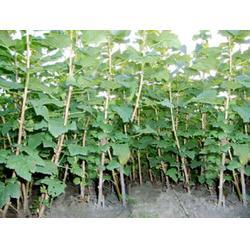 葫芦岛黑加仑苗哪家好-大量出售吉林黑加仑苗图片