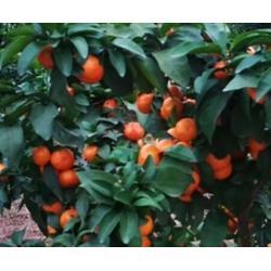 哪里有无核蜜橙营养杯苗基地图片