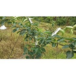新型果树压枝器图片