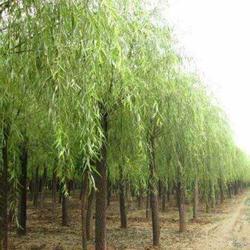 西安垂柳-山东中鹏苗木基地-垂柳怎么种植图片
