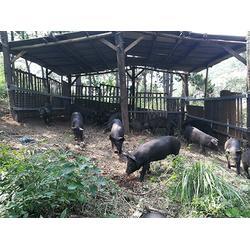 大庆山黑猪-好的山黑猪市场图片