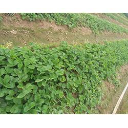 草莓苗零售-草莓苗多少钱一株