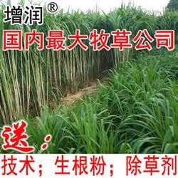 新型皇竹草种节 皇竹草种子种苗图片