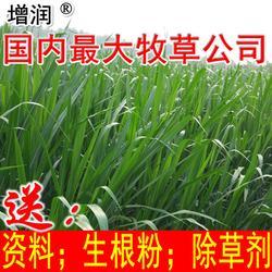 新型皇竹草种节持续发货中图片