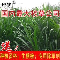 巨菌草种节包邮,购高产牧草种送技术图片