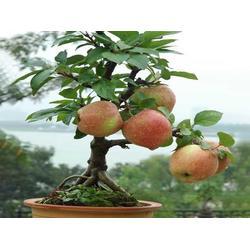 新疆苹果盆景供应商-银川超值的新疆苹果盆景哪有卖图片