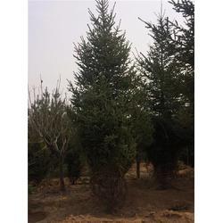 德州云杉销售基地-泰安泰景苗木绿化-4米云杉销售基地图片