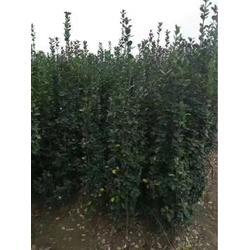 1米半北海道黄杨发货价-北海道黄杨发货价-泰景苗木(查看)图片