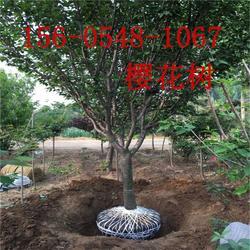 直销8公分、9公分、10公分樱花树苗基地图片