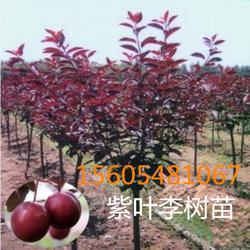 出售紫叶李7公分8公分紫叶李树苗多少钱一株图片