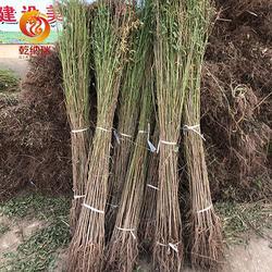 山东大棚香椿苗-大棚香椿苗多少钱-乾纳瑞农业图片