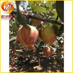 早酥红梨树苗多少钱-乾纳瑞农业-百色早酥红梨树苗图片