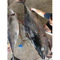 中国金枪鱼市场,金枪鱼市面什么价钱在中国图片