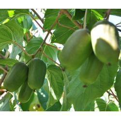 软枣猕猴桃厂家-销量好的软枣猕猴桃出售图片