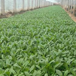 马鞭草种植基地-潍坊声誉好的柳叶马鞭草供货商图片