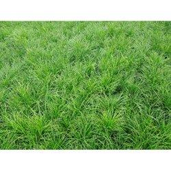 崂峪苔草-北京◆崂峪苔草-潍坊崂峪苔异能草图片