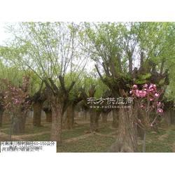 杜梨棠梨刺槐臭椿苦楝楝树木瓜表图片