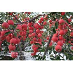 禮泉紅富士蘋果 膜袋紅富士蘋果圖片