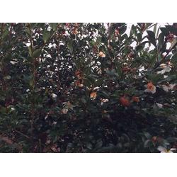 福州茶籽油品牌、茶籽油、福州长远茶籽油(查看)图片