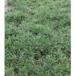 黄河苗木供应(图)|白骨松树苗|南阳白骨松图片