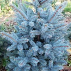 美国蓝杉-黄河苗木-美国蓝杉树图片