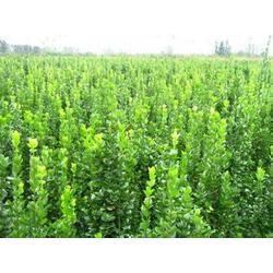北海道黄杨,黄河苗木,北海道黄杨种子图片