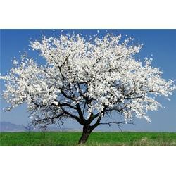黄河树苗,樱花树苗多少钱,樱花树苗图片